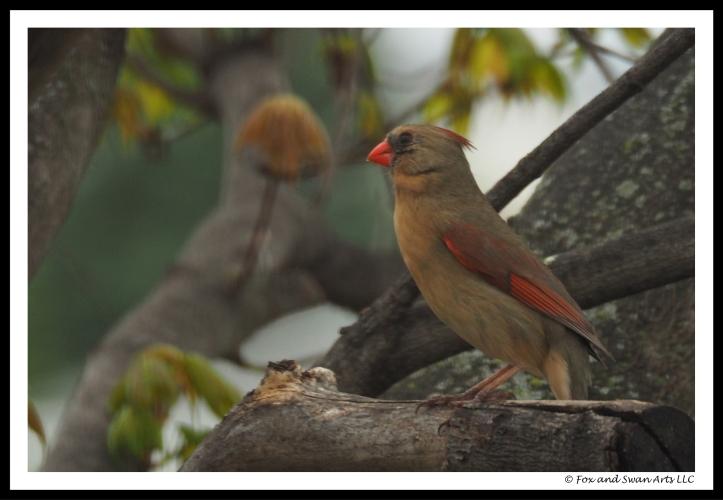 cardinal 01