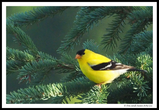 goldfinch01
