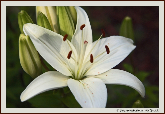 lily 01