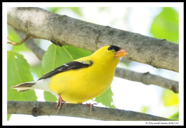 goldfinch 02