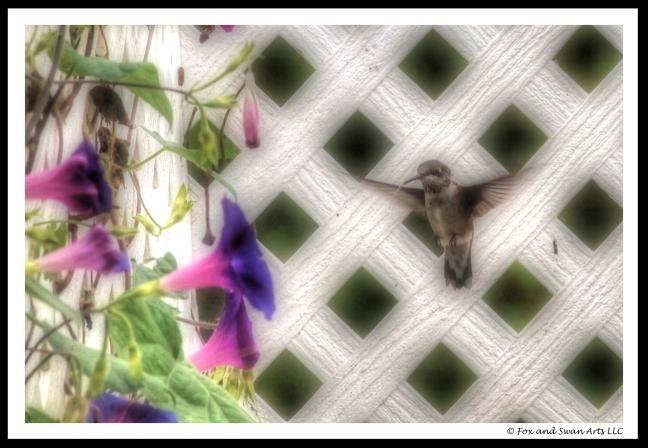 hummingbird 02