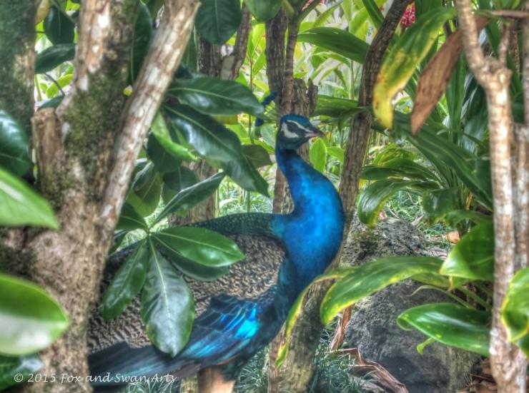 waimea peacock