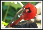 cardinal 03