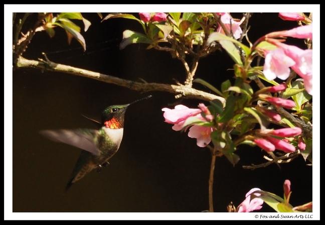 hummingbird 03