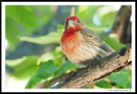 purple finch 03
