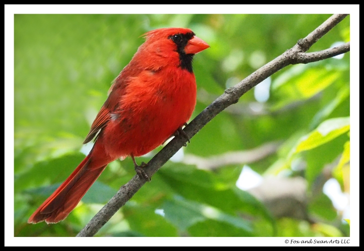 cardinal 04