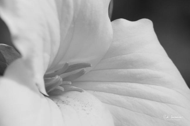 Trillium (Black and White)