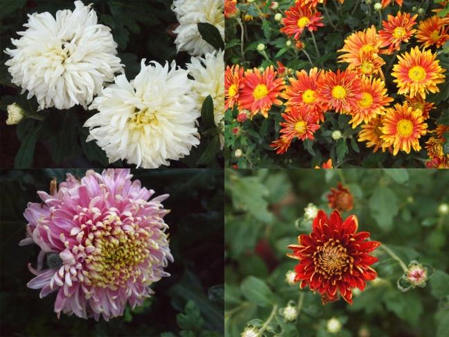 mayowood chrysanthemums