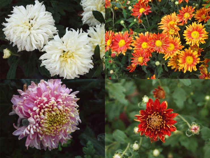 mayowood chrysanthemums