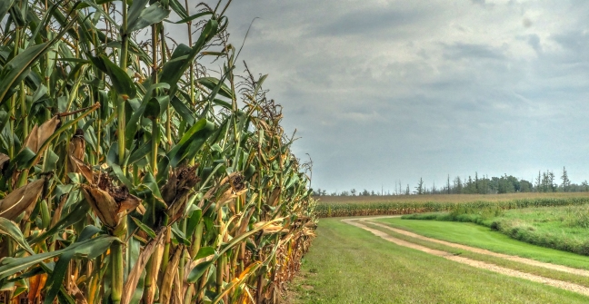 september cornfield