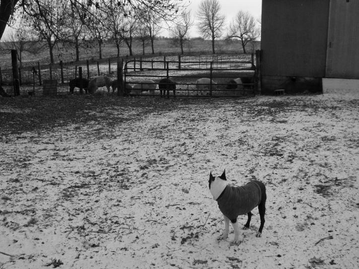 i am not a pig