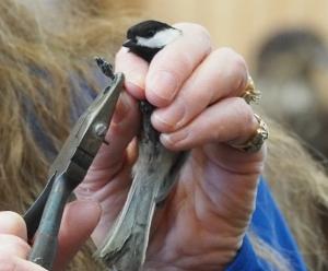 banding a chickadee