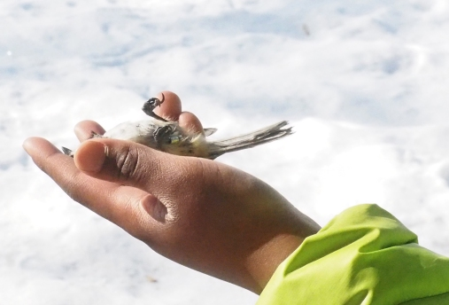 relaxed chickadee in boy's hand