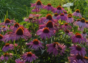 Alice's Coneflower