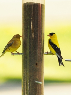 Two Finch