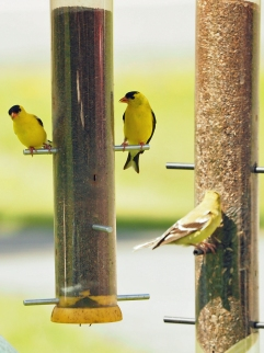 Three Finch
