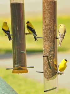 Four Finch