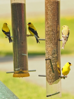 Four Finch