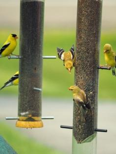 Five Finch
