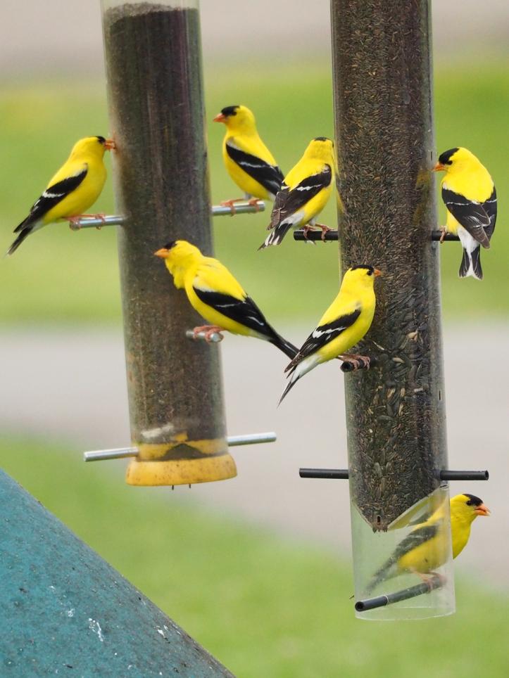 Seven Finch