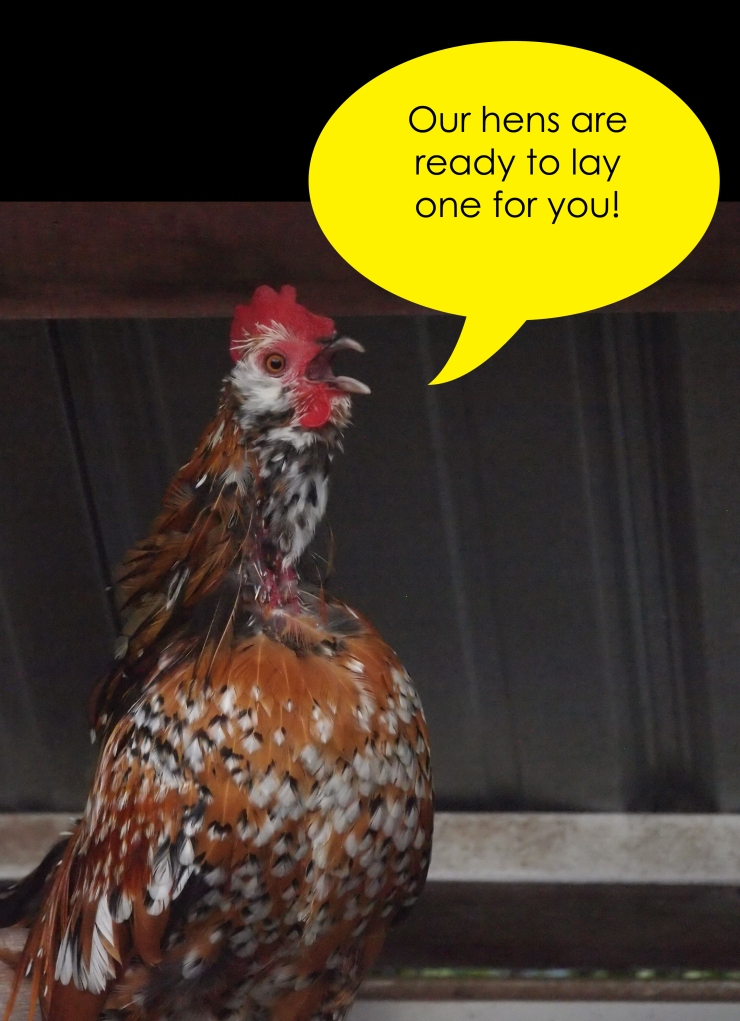 Our hens are ready!